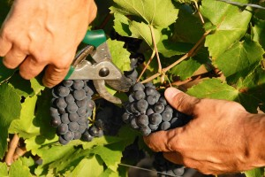 Verdens vinkulturer
