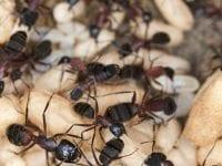 år myrerne vågner, kan de ikke finde føde, fordi jorden er kold, så hvis du vil forhindre, at de går ind i huset for at hente føde, skal du sprøjte-behandle tidligt. Foto: PR.